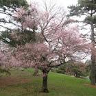 Fukubana Cherry