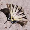 Scarce Swallowtail, prugasto jedarce