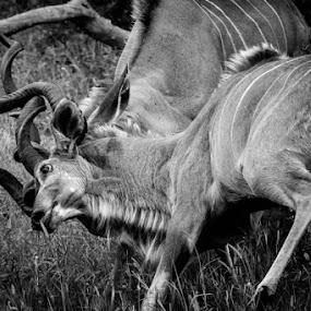 Dance for Dominance by Barbara Nolte - Animals Other Mammals
