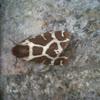 Polilla gitana (ES) Garden tiger moth (EN)