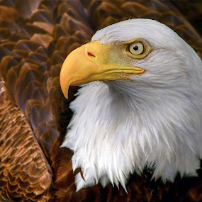 Side View by Pam Mullins - Animals Birds ( eagle, canada, pamswildimages, bald eagle, pam mullins, bc, prince rupert photographer,  )