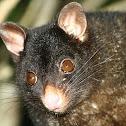 Short-eared Possum
