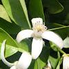 Flor de azahar. Mandarino