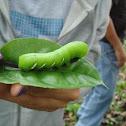 Eumorpha Hawkmoth Caterpillar