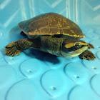 Pink Bellied Sideneck Turtle