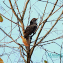 The Asian Koel (female)