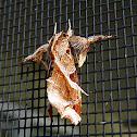 Florida Fern Moth