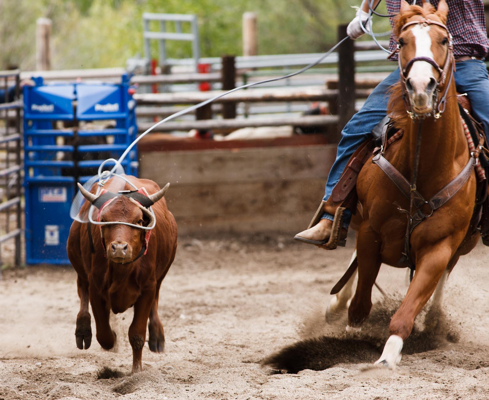 Roped Steer, Wyoming