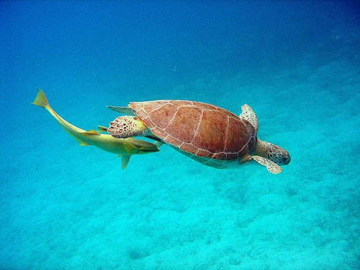 A green turtle is followed by a remora, or suckerfish, in the US Virgin Islands. Look out below!