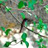 Flycatcher - African Paradise-flycatcher