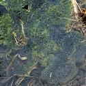 Wood Frog-Eggs