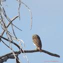 Lechucita, pigmy owl