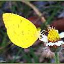 Common Grass Yellow