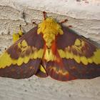 Citheronia laocoon