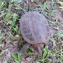 Common Snapping Turtle (juvenile)