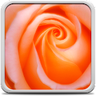 Macro Rose Live Wallpaper icon