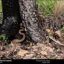 Arizona Ridgenosed Rattlesnake