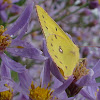 Common Sulphur