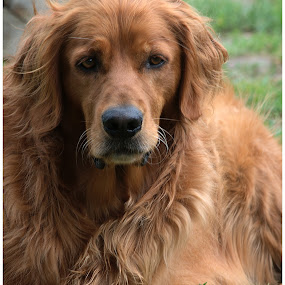 George by Jebark Fineartphotography - Animals - Dogs Portraits ( george, ball, dog, portrait, golden retriever,  )