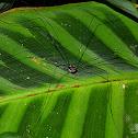 Harvestman Bug