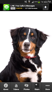 Bernese Mountain Dog Info - screenshot thumbnail