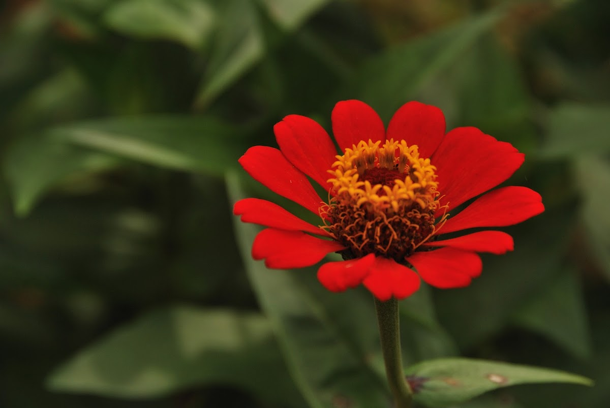 Narrow-Leaf Red Zinnia