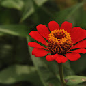 Narrow-Leaf Red Zinnia