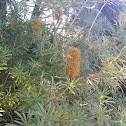 Unknown Banksia
