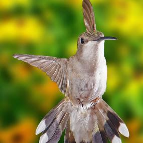 by Lyle Gallup - Animals Birds ( bird, hummingbird, flowers, spring, , fly, flight )