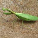 Louva-a-Deus  Praying Mantis