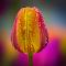 050714-BS-Tulip-1600px-ss-cln.jpg