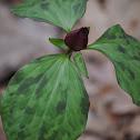 Prairie Trillium