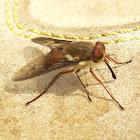 Tabanid fly (♀)
