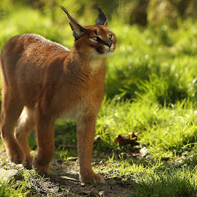 Caracal by Selena Chambers - Animals Other Mammals ( cat, caracal, caracal stalking )