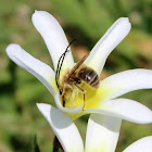 Japanese Acyrthosiphon bee