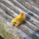 Catenulata Tussock Moth Caterpillar