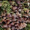 Lichen, Sticta caulescens