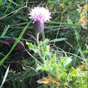 Canada thistle, creeping thistle