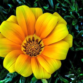 Yellow/Orange flower by Glenn Visser - Flowers Single Flower ( yellow, flower,  )
