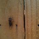 Orange Cicada