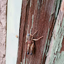 Plain lubber grasshopper
