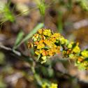 Osyris alba (Σκουπόχορτο)