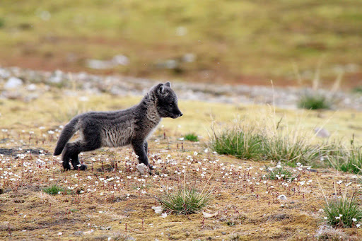 Svalbard-arctic-fox-pup - We're not sure, but this looks like an arctic fox pup, spotted during an expedition to the Svalbard islands in Norway during a cruise on Hurtigruten's Fram.