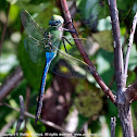 Common Green Darner dragonfly (male)