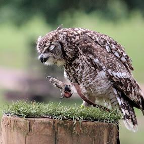 Grumpy owl by Birgit Vorfelder - Animals Birds ( bird, bird of prey, pole, owl, angry, grumpy, claw,  )