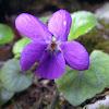 Wood violet, mirisna ljubičica