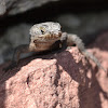 Girdled Tail Lizard