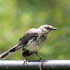 Tropical Mockingbird (juvenile)