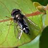 Carposcalis Syrphidae
