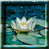 Water Lily LWP